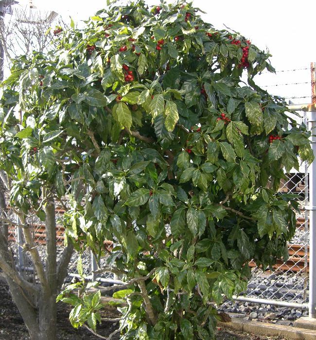 アオキ (植物)の画像 p1_35